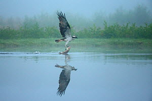 Osprey (Pandion Haliaetus) catching trout on a foggy morning, Scotland, UK, July.  -  Andy  Rouse