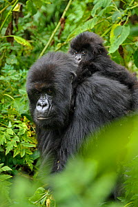 RF- Mountain Gorilla (Gorilla beringei beringei) mother carrying baby Rwanda, Africa. (This image may be licensed either as rights managed or royalty free.) - Andy  Rouse