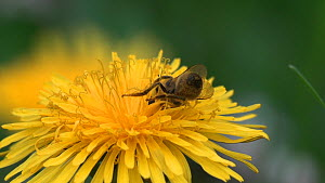European honey bee (Apis mellifera) nectaring on a Dandelion flower, Pembrokeshire, Wales, UK, May. - SINCLAIR STAMMERS