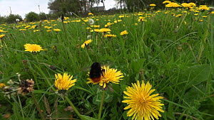 Red-tailed bumblebee (Bombus lapidarius) nectaring on a Dandelion flower, Pembrokeshire, Wales, UK, May.  -  SINCLAIR STAMMERS