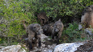 Chacma baboon (Papio ursinus) troop exiting den, DeHoop Nature Reserve, Western Cape, South Africa, June.  -  Tony Phelps