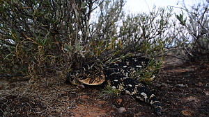 Puff adder (Bitis arietans) moving into ambush position under a bush, DeHoop Nature Reserve, Western Cape, South Africa, January. - Tony Phelps