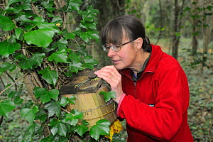 Mammalogist Gill Brown inspecting nest box set out for Common / Hazel  dormice (Muscardinus avellanarius), in coppiced woodland near Bristol, Somerset, UK, October.  Model released.  Winner of the Doc...  -  Nick Upton
