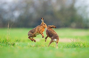 Brown hare (Lepus europaeus) female boxing away male, Derbyshire, England, UK, March. Winner of British Seasons category of BWPA competition 2014.  -  Andrew Parkinson