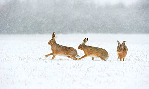 Brown hare (Lepus europaeus) two males chasing female in snow covered field during a blizzard. Derbyshire, England, UK, February. Winner of British Seasons category of BWPA competition 2014. - Andrew Parkinson