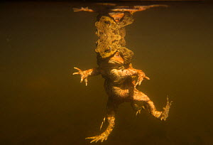 Toads (Bufo bufo) two males and female, in amplexus in a pond, underwater image, Yorkshire, England, UK, April. Highly Commended in the Animal Behaviour Category of BWPA competition 2014.  -  Paul Hobson