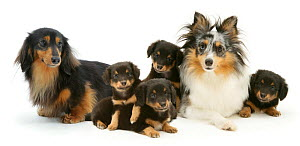 Sheltie  and  Dachshund dogs with their puppies. - Jane Burton