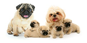 Pug x Shih-tzu (Pugzu) cross puppies with parents.  -  Jane Burton