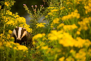 Badger (Meles meles) sub-adult badger among some ragwort, Derbyshire, England, UK, July. Highly commended in the Habitat category of the BWPA competition 2014. - Andrew Parkinson