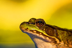 Northern green frog (Lithobates clamitans melanota). Connecticut, USA, August.  -  Phil Savoie
