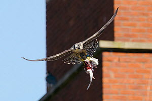 Peregrine falcon (Falco peregrinus), juvenile in flight with remains of feral pigeon. Bristol, UK. July. - Sam Hobson