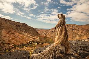 Barbary ground squirrel (Atlantoxerus getulus) on lookout for buzzards. Fuerteventura, Canary Islands, Spain. April. - Sam Hobson