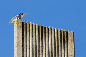 Peregrine falcon (Falco peregrinus) on top of modern cathedral spire with wings spread. Bristol, UK. September.  -  Sam Hobson