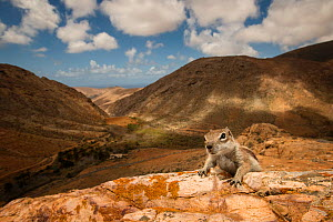 Barbary ground squirrel (Atlantoxerus getulus) in arid mountain habitat. Fuerteventura, Canary Islands, Spain. April. - Sam Hobson