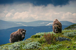 Muskoxen (Ovibos moschatus) with mountains in background. Dovrefjell, Norway. July.  -  Sam Hobson