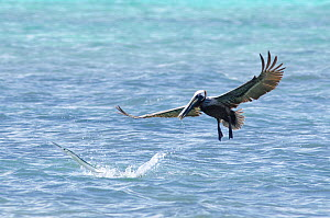 Houndfish (Tylosurus crocodilus) leaping from water after being disturbed by plunge-diving brown pelican (Pelecanus occidentalis). Cenote Manati, Riviera Maya, Yucatan, Mexico. September.  -  Sam Hobson