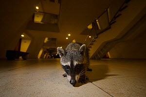 Raccoon (Procyon lotor) in hotel, foraging for food left by tourists. Akumal, Riviera Maya, Yucatan, Mexico. September. - Sam Hobson