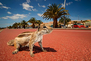 Barbary ground squirrel (Atlantoxerus getulus) on beach-side promenade. Fuerteventura, Canary Islands, Spain. April. - Sam Hobson