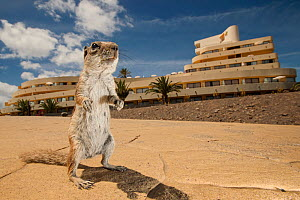 Barbary ground squirrel (Atlantoxerus getulus) outside hotel. Fuerteventura, Canary Islands, Spain. April. - Sam Hobson