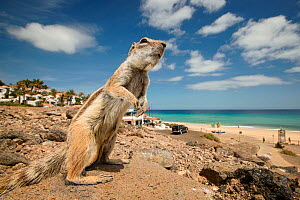 Barbary ground squirrel (Atlantoxerus getulus) outside beach-side resort. Fuerteventura, Canary Islands, Spain. April. - Sam Hobson