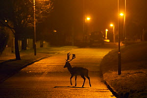 Fallow deer (Dama dama) buck crossing road under street lights. London, UK. January. - Sam Hobson