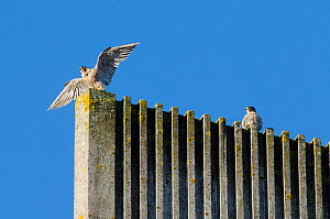 Peregrine falcon (Falco peregrinus) pair on top of modern cathedral spire. Bristol, UK. October.  -  Sam Hobson