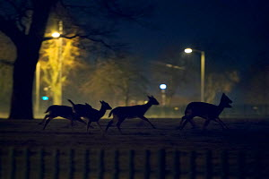 Fallow deer (Dama dama) running across urban park. London, UK. January.  -  Sam Hobson