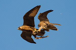 Peregrine falcons (Falco peregrinus), juvenile female and male in flight, fighting over prey. Bristol, UK. June. - Sam Hobson