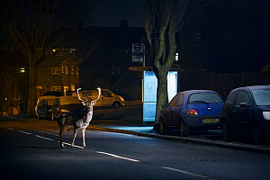 Fallow deer (Dama dama) buck crossing road in front of bus stop. London, UK. January.  -  Sam Hobson