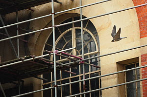 Peregrine falcon (Falco peregrinus), adult in flight in front of building and scaffolding. Bristol, UK. May.  -  Sam Hobson