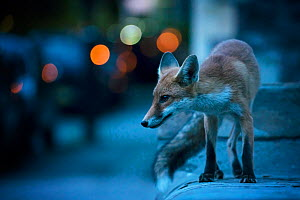 Young urban Red fox (Vulpes vulpes) with street lights behind. Bristol, UK. August.  -  Sam Hobson