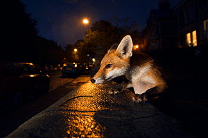 Young urban Red fox (Vulpes vulpes). Bristol, UK. August.  -  Sam Hobson