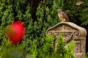Northern goshawk (Accipiter gentilis) fledgling perched on gravestone in urban cemetery. Berlin, Germany. July.  -  Sam Hobson