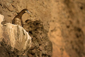 Brown booby (Sula leucogaster) peering down from cliff. Soufri�re, Saint Lucia.  -  Sam Hobson