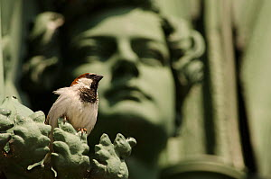 House sparrow (Passer domesticus), male perched on statue. Berlin, Germany. July.  -  Sam Hobson