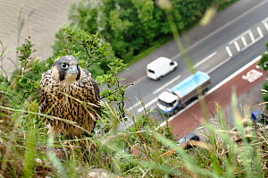 Peregrine falcon (Falco peregrinus), juvenile perched on cliff with busy road and river in background. Avon Gorge, Bristol, UK. June. Runner up in Terre Sauvage Nature's Images Awards 2013, Urban cate...  -  Sam Hobson