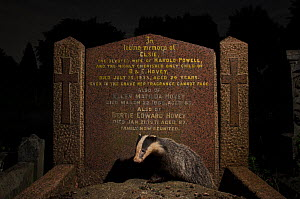 Young European badger (Meles meles) emerging from beneath a gravestone in city cemetery. Bristol, UK. August.  -  Sam Hobson