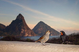 Pair of lesser Antillean bullfinches (Loxigilla noctis) on hotel balcony, view of Pitons in background. Anse Chastenet, Saint Lucia.  -  Sam Hobson