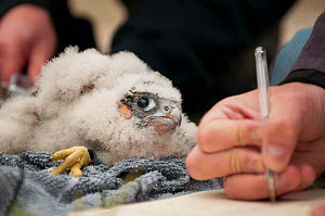 Peregrine falcon (Falco peregrinus) chick being ringed whilst notes and measurements are taken. Somerset, UK. May 2013.  -  Sam Hobson