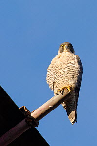 Peregrine falcon (Falco peregrinus), adult female perched on scaffolding. Bristol, UK. December. - Sam Hobson