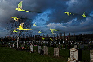 Rose-ringed / ring-necked parakeets (Psittacula krameri) in flight on way to roost in an urban cemetery, London, UK, January. Finalist in the Birds category, Wildlife Photographer of the Year Awards (...  -  Sam Hobson