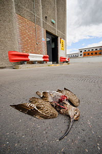 Remains of Whimbrel (Numenius phaeopus) on car park roof, dropped by urban peregrine falcon (Falco peregrinus). Bristol, UK. July. - Sam Hobson