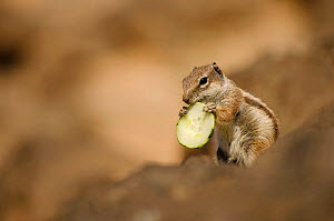 Barbary ground squirrel (Atlantoxerus getulus) with slice of cucumber. Fuerteventura, Canary Islands, Spain. April. - Sam Hobson