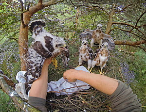 Northern goshawk (Accipiter gentilis) nestlings inside treetop nest, handled by Dr. Norbert Kenntner. Part of an urban goshawk colour ringing study. Berlin, Germany, May 2014. Nominated in the Melvita...  -  Sam Hobson