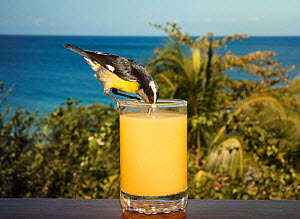 Bananaquit (Coereba flaveola) drinking fruit juice from glass on hotel balcony. Stonehaven Bay, Tobago, Trinidad and Tobago.  -  Sam Hobson