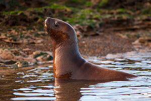 South American sea lion (Otaria flavescens) pup in shallow water, Valdes Peninsula, Chubut, Patagonia, Argentina.  -  Gabriel Rojo