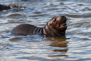 South American sea lion (Otaria flavescens) pup playing with stone, Valdes Peninsula, Chubut, Patagonia, Argentina.  -  Gabriel Rojo