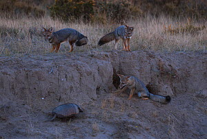 Three Argentine grey foxes (Lycalopex griseus) looking at Large hairy armadillo (Chaetophractus villosus) Valdes Peninsula, Chubut, Patagonia, Argentina.  -  Gabriel Rojo