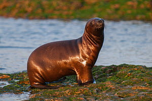 RF- South American sea lion (Otaria flavescens) pup, Punta Norte Nature Reserve, Valdes Peninsula, Chubut, Patagonia, Argentina. (This image may be licensed either as rights managed or royalty free.)  -  Gabriel Rojo