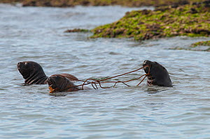 South American sea lion (Otaria flavescens) pups in water playing with seaweed. Valdes Peninsula, Chubut, Patagonia, Argentina.  -  Gabriel Rojo